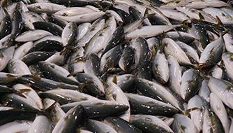 フクラギ(ブリの当歳魚)